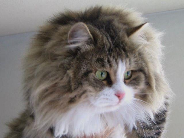 Il Gatto Siberiano Siberiani Di Sansone
